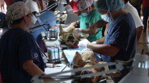 Piden que se retomen los programas de esterilización de animales y que sea compromiso del Estado
