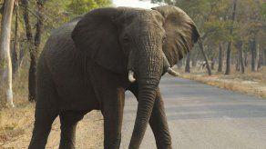 Salen 32 elefantes de Zimbabue en avión saudí pese al rechazo de ecologistas