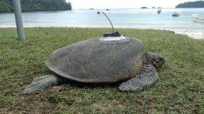 Se han colocado ocho transmisores satelitales para dar seguimiento a las rutas y movimientos migratorios de las tortugas.
