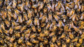 Una vacuna para las abejas contra el apocalipsis de los insectos