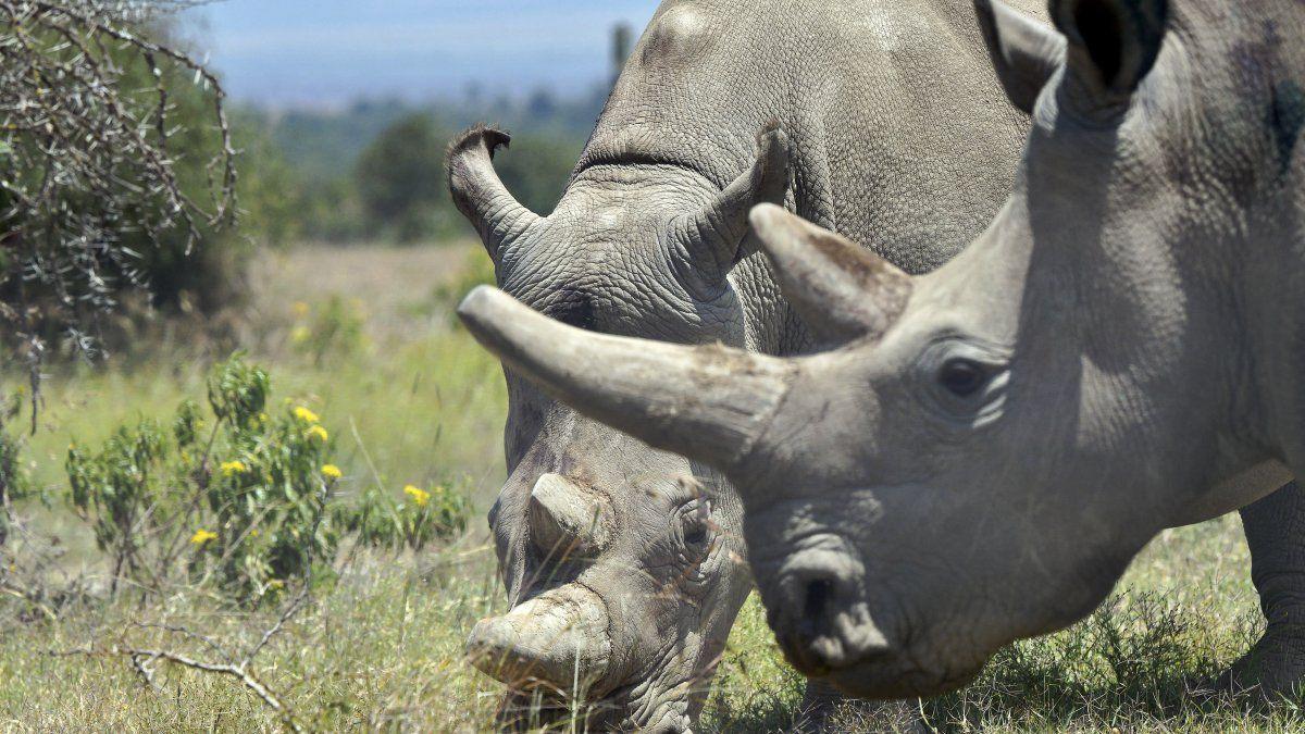 Najin y Fatu fueron en 2009 enviadas desde la República Checa al parque keniano.