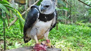 Alcaldía de Panamá continúa en la búsqueda e investigación del águila harpía hurtada