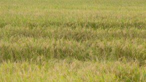 Alrededor de 200 hectáreas de arroz en riesgo de pérdida