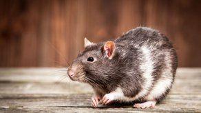 ¿Hielo seco para combatir ratas?