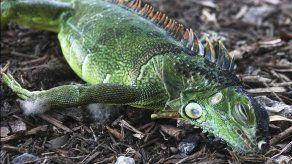 Meteorólogos advierten que podrían caer iguanas en Florida