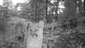 Puma muerde a niño en Colorado; el tercer ataque en el año