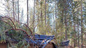Fuertes vientos derriban pinos gigantescos en California