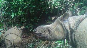 Dos cachorros de rinoceronte de Java