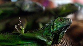 Una empresa puertorriqueña exportará carne de iguana verde