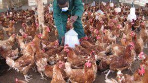 Más de 400 mil aves sacrificarán en México por nuevo brote gripe aviar