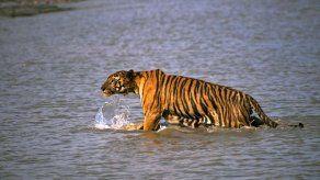 Tigre ataca y desaparece a una mujer en la India