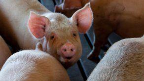 Sacrificio de ganado porcino aumentó un 21.4% en septiembre de 2020