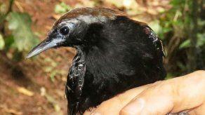 Descubren nueva especie de ave cerca a parque nacional de Amazonía peruana