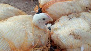 México sacrifica 710.000 aves contagiadas de la gripe aviar