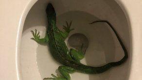 Florida: encuentra iguana verde nadando en su inodoro