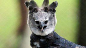 Águila Harpía Panamá llegó a su nuevo hogar
