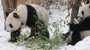 El zoo de Viena entrega a China dos pandas gemelos nacidos en cautividad