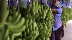 Alertan del impacto que la crisis climática tendrá en la industria bananera