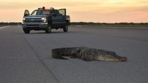 Asombro en base de EEUU al ver a caimán soleándose en pista