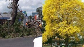 Alcaldía de La Chorrera deplora tala del árbol de Guayacán del parque