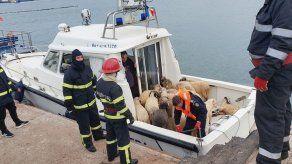 Fin del intento de rescatar a 14.600 ovejas bloqueadas en un barco volcado en el mar Negro