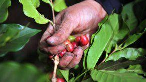 Aplicarán medidas de bioseguridad en fincas de café frente a zafra en Tierras Altas y Boquete