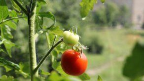 Descubren cómo los tomates adquieren su color rojo al madurar las semillas