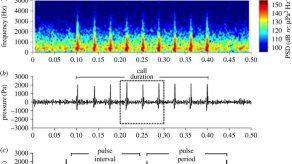 El grito sexual de un pez mexicano puede causar sordera a los delfines