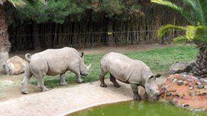 Presentan a los dos primeros rinocerontes blancos que llegan a Chile