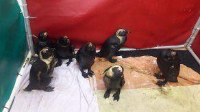 Pingüinos llenos de petróleo a causa del repostaje de barcos en el mar