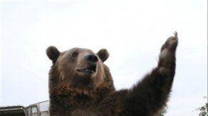 Hombre muere atacado por oso al tratar de fotografiarlo