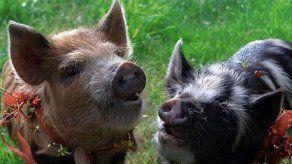 Chris Pratt recibe un original regalo de cumpleaños: dos cerdos en miniatura
