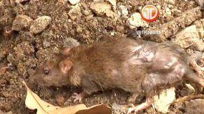 Minsa y Revisalud realizan operativo para exterminar ratas en San Miguelito
