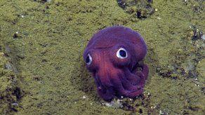 Científicos encuentran un calamar que parece un juguete