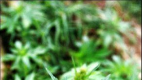 Una orden de tacos en EU incluía marihuana