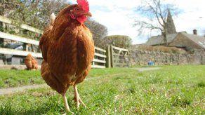Apetito de los británicos por el pollo contribuye a desforestar Latinoamérica