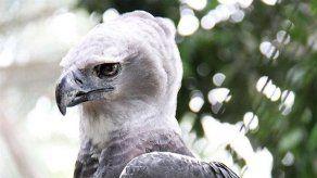 Cumpleaños N°10 del Águila Harpía será celebrado el 22 de septiembre