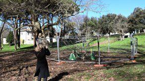 Plantan un clon de plátano del siglo XVII en parque de Roma