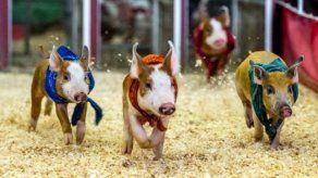 Cerdos compiten en una carrera durante Feria del Condado de Los Ángeles