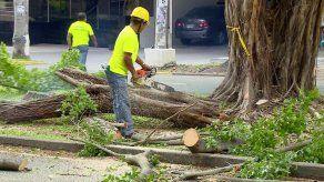 Los ficus no son árboles adecuados para espacios urbanos
