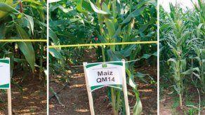 Productores de maíz preocupados por aumento de seguro agropecuario