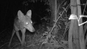 Coyotes que parecen perros