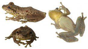 Colombia sorprende con el descubrimiento de una rana que croa como cabra