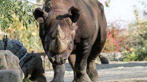 Tres zoológicos europeos donan rinocerontes a Ruanda para salvar una especie