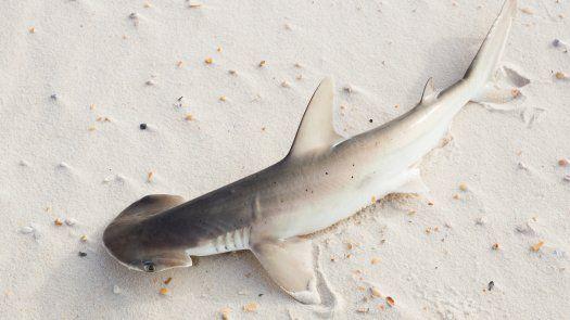 Para la investigación se estudió a un pequeño miembro de la familia de los tiburones, llamados cabeza de pala (Sphyrna tiburo), nativos del Golfo de México.