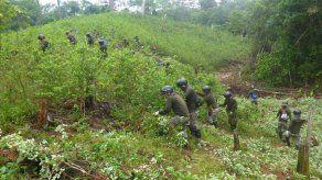 Perú erradica a mano más de 14.000 hectáreas de hojas de coca