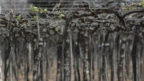 La pandemia golpea a los productores de pisco en Perú