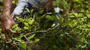 Cultivos de hoja de coca en Perú aumentaron 14% en 2017