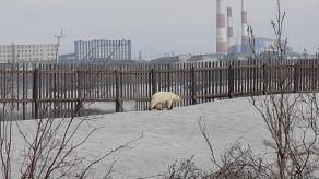 Avistan oso polar en ciudad rusa lejos de su hábitat normal