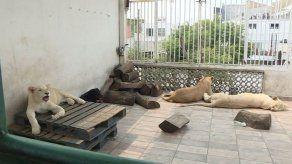 Rugidos de leones causan pánico en vecinos de un barrio de Ciudad de México